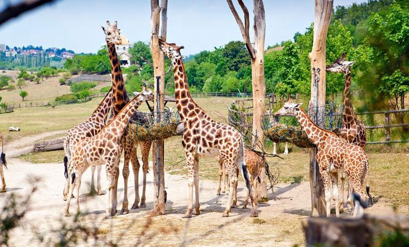 Prague Zoo Giraffes Feeding Praguego